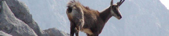 5. Rupicapra rupicapra balcanica L., divokoza, foto Stipe Srzić